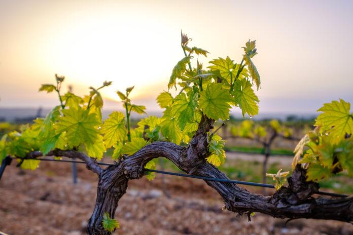 Wina zielone – sprawdź, jakie wina pić młode